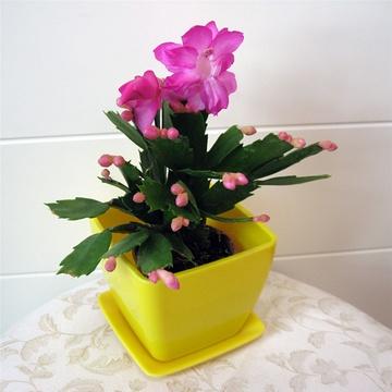 立泰悦达 蟹爪兰 花卉 盆栽植物 绿色植物 室内植物 袖珍植物 礼品