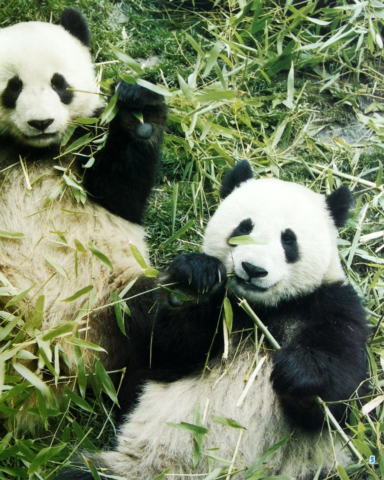 壁纸 大熊猫 动物 1280_1601 竖版 竖屏 手机